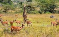 Kenya'da safari heyecanı