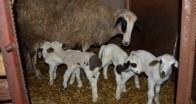 Tekirdağ'da bir koyun beşiz doğurdu